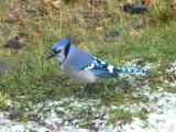 BIRDS-OISEAUX  Madawaska Co NB