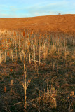 Teasel Field at Sunset