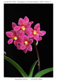 20077063 - Sarcochilus Hot Ice (no clonal name) HCC/AOS (78pts)