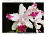 20074112 - Cattleya intermedia var aquinii 'Allison Clausen' AM/AOS (83pts)