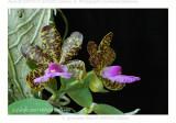 20074115 - Cattleya aclandiae 'Paul II' AM/AOS (83pts)