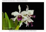 20074118 - Sophronitis purpurata 'Michael' AM/AOS (80pts)