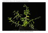 --Epidendrum lupezii 'Lou' CBR/AOS