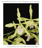 20074125 - Encyclia profusa 'Mem. Don Sexton' HCC/AOS 78 pts.