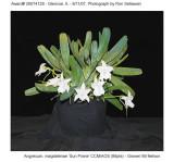 20074128 - Angrecum magdalenae 'Sun Prarie' CCM/AOS (86 pts)