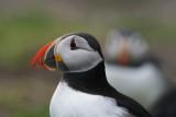 DSC00058F papegaaiduiker (Fratercula arctica, Atlantic puffin).jpg