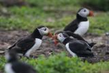 DSC00118F papegaaiduiker (Fratercula arctica, Atlantic puffin).jpg