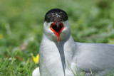 DSC00496F visdiefje (Sterna hirundo, Common Tern).jpg
