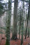 Slovenia virgin forest