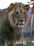 Lion in last light