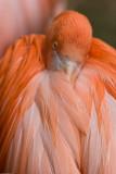 Shy Flamingo