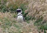 Magallenic Penguins