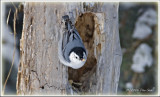 White fronted nuthatch.jpg