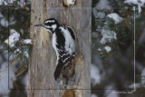 Hairy Female Woodpecker.jpg