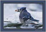 Bluejay peanut.jpg