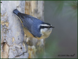 Red breasted nuthatch.jpg