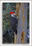 Pileated Woodpecker framed.jpg