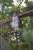 Cooper Hawk Backyard.jpg