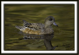 American Widgeon.jpg