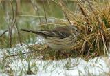 American Pipit (Anthus rubescens)