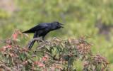 Large billed crow