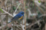 Orange flanked bush-robin