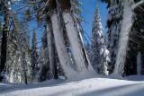 Snowdrift on Tree Trunks.jpg