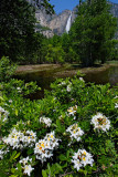 Yosemite Springflowers.jpg