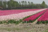 tulpen c.jpg