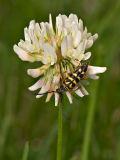 Flower Longhorn Beetle
