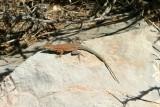 Lizard, Bright Angel Trail, Grand Canyon National Park