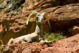 Mountain ram, Grand Canyon National Park