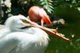 Deformed beak, Pink Flamingo, Galveston, TX