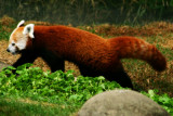 Endangered Red panda, Indianapolis Zoo, IN
