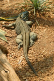 Grand Cayman Blue Iguana, Indianapolis Zoo, IN