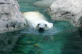 Polar Bear, Indianapolis Zoo, IN