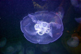 Jelly Fish, Indianapolis Zoo, IN