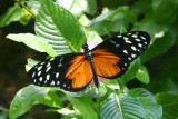 Butterfly: Tiger Longwing