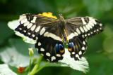 Butterfly: Black Swallowtail