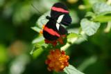 Butterfly: Erato
