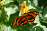 Butterfly: Banded Orange Heliconian