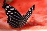 Butterfly: Blue wave butterfly