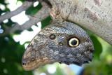 Butterfly: Blue Morpho upside down