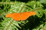 Butterfly: Julia