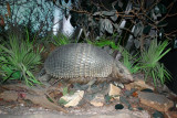 Texas Armadillo, Museum of Natural Science, Houston