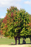 Apple tree, Bald Eagle State park, PA