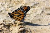 Butterfly: Folded wings