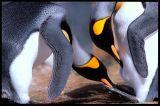 Anything yet? King Penguins