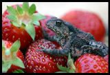 Toad & Strawberries - Urshult Sweden 2002