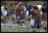 Young King Penguins changing dress
